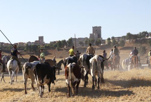 Manada de reses y caballistas tras subir la cotarra que separa los corrales del pueblo.