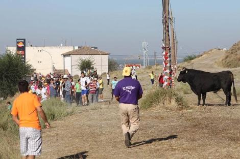 Momento del encierro: toro en las laderas de Portillo, junto a la carretera de Segovia.